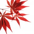 maple leaf&quot — Stock Photo #10734643