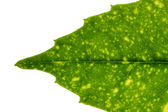 Fresh tree leaf texture — Stock Photo