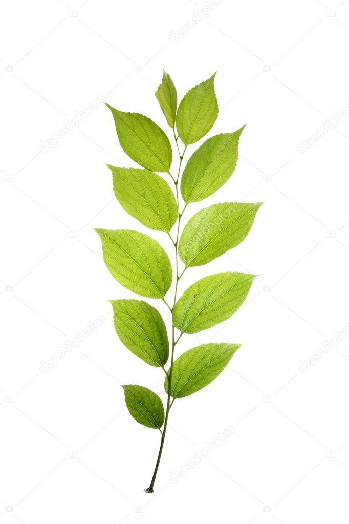 картинки листка от дерево