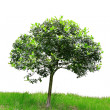 Tree isolated against a white background — Stock Photo