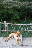 Dog in front of wooden fence — Stock Photo