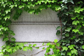 Ivy growing on wall — Zdjęcie stockowe