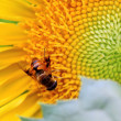 Bee in the sunflower nectar collected - Stock Photo