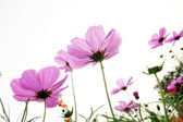 Colorful daisies — Stockfoto