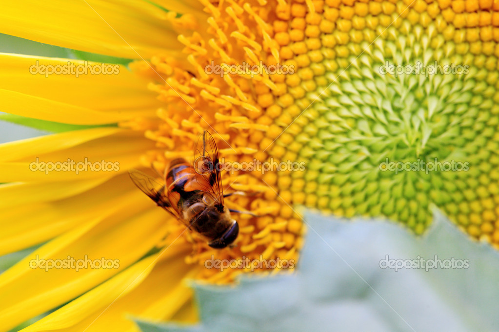 The closeup of a bee in the sunflower nectar collected — Stock Photo #10767558