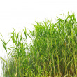 Stock Photo: Close-up view of reed along water's edge