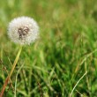 Stock Photo: Dandelion and weeds