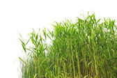 Close-up view of reed along the water's edge — Stock Photo