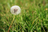 Dandelion and weeds — Stock Photo