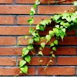 Ivy and red brick wall - Stock Photo