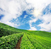 Green tea garden — Stock Photo