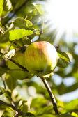 Apple a slunce — Stock fotografie