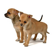 Two chihuahua puppies — Stock Photo