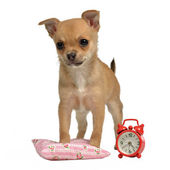 Puppy with alarm-clock and pillow — Stock Photo