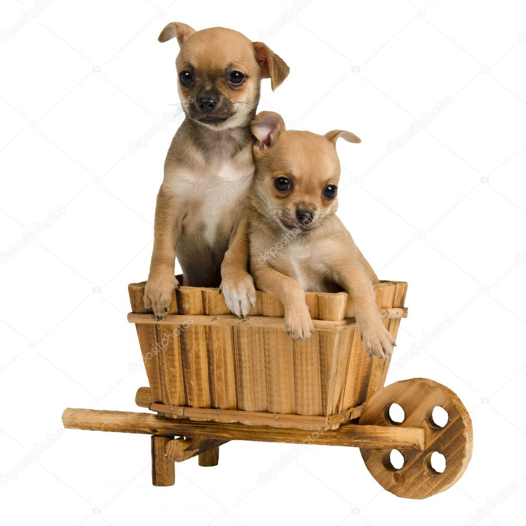 Chihuahua puppies inside the wooden cart, isolated on white — Stock Photo #10945393