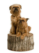 Two griffons on a stub — Stock Photo