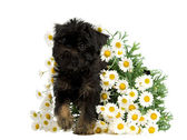 Puppy inside the bunch of Daisies — Stock Photo