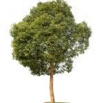 Small camphor tree — Stock Photo