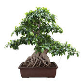 Green bonsai banyan tree — Stock Photo