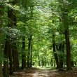Lane in forest — Foto Stock