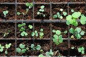 Neue frühlingsblume in wachsen — Stockfoto