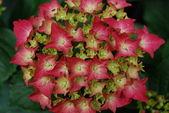 Portrait of pink hydrangea in bloom — Stock Photo