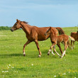 Horse on a green grass — Stock Photo #11062871