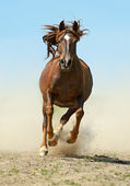 Horse hurrying at a gallop — Stock Photo