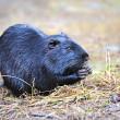 Stock Photo: Portrait of nutria