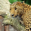Leopard — Stock Photo