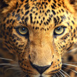 Leopard portrait — Stock Photo #11421313