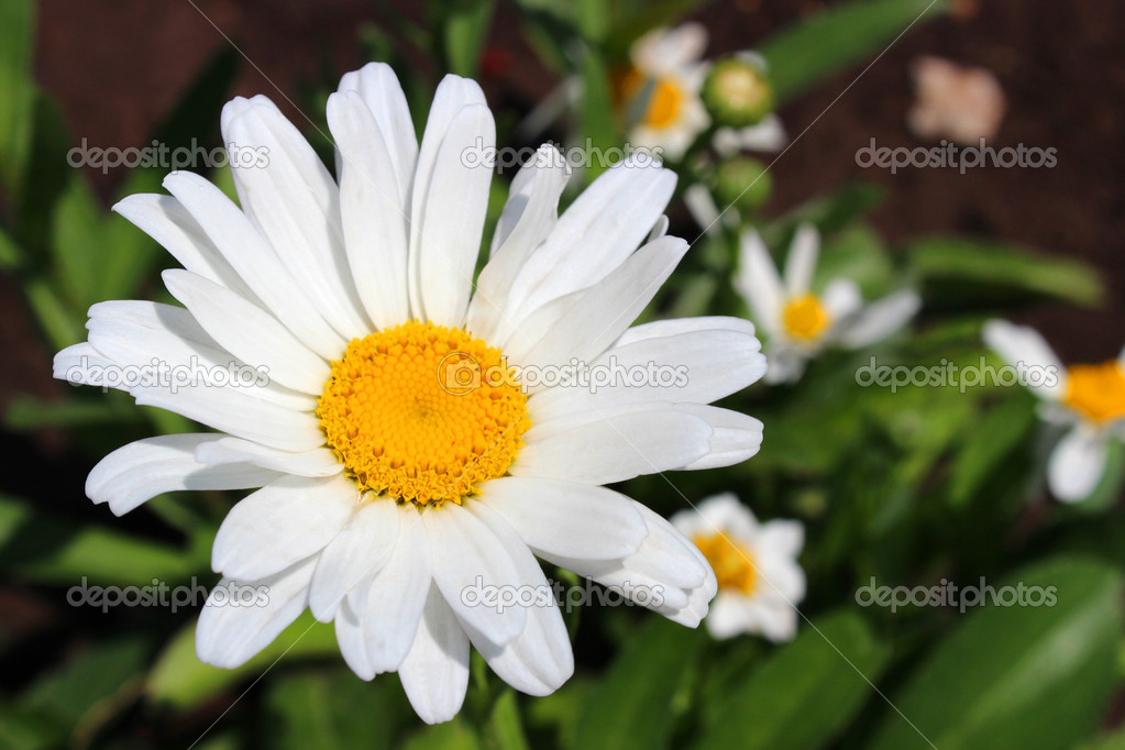 A white daisy close-up on the flower bed. — Stock Photo #11344095