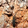 Monochamus sutor. Black beetle with long antennae. - Stock Photo