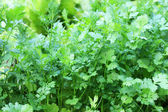 Parsley, growing in the garden. — Stock Photo