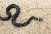 Natrix. Black snake crawling on the sand. — Stock Photo