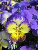 Blue pansy — Stock Photo
