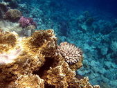 Coral reef — Photo