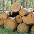 Wood in forest — Stock Photo