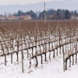 Vineyard in Franciacorta in winter with snow — Stock Photo