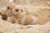 Two Prairie dogs — Stock Photo