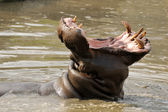 Hippo in water yawning — Stock Photo