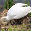 Royalty-Free Stock Photo: Swan during the hatching