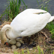 Swan during the hatching — Stock Photo
