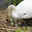 Swan during the hatching — Stock Photo #11637933