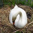 Swan during the hatching — Stock Photo #11637998