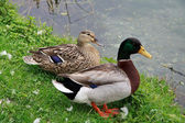 Pair of mallard — Stock Photo