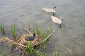 Smaller of mute swan and coot nest in the black — Stock Photo