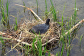 Black coot in the nest — Stock Photo