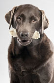 Chocolate Labrador with Rawhide Bone — Stock Photo