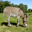 Donkey eating grass — Stock Photo
